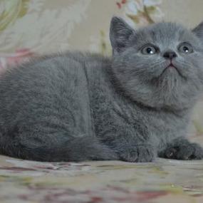 北京蓝猫出售告诉您饲养蓝猫的注意事项有哪些?