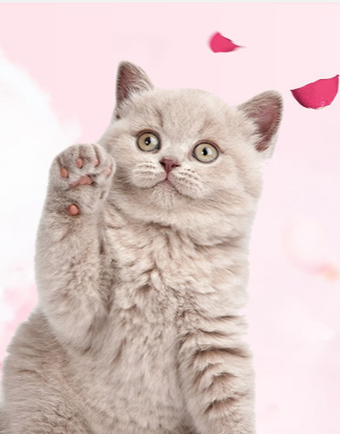 在网上加菲猫专卖店选购加菲猫的注意事项