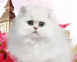 如何挑选美国短毛猫?