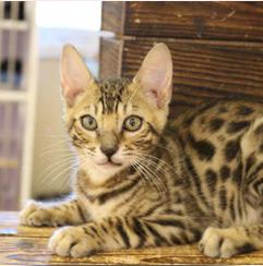 美国短毛猫与英国短毛猫的区别是什么?
