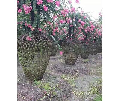 選購成都紅花紫薇需要注意基地的哪些方面