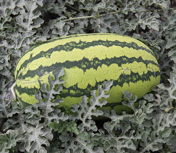 双红金城种子的类型有哪些