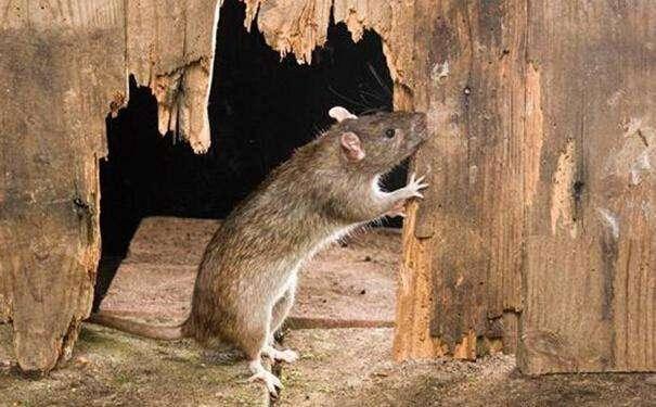怎样选择专业灭鼠公司