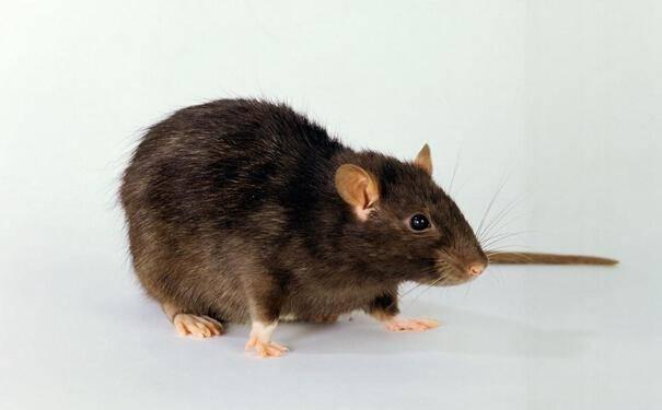 专业灭鼠公司的优点有哪些